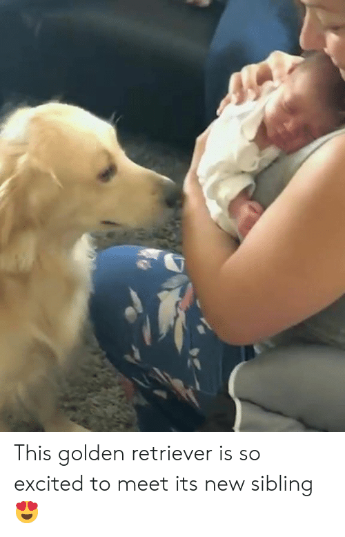 Golden Retriever: This golden retriever is so excited to meet its new sibling 😍