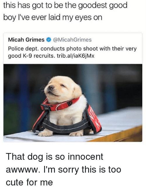 Cute, Memes, and Police: this has got to be the goodest good  boy I've ever laid my eyes on  Micah Grimes·@MicahGrimes  Police dept. conducts photo shoot with their very  good K-9 recruits. trib.al/iaK6jMx That dog is so innocent awwww. I'm sorry this is too cute for me