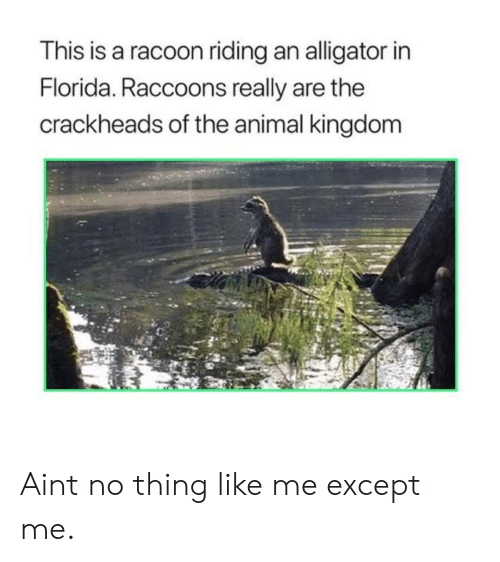 animal kingdom: This is a racoon riding an alligator in  Florida. Raccoons really are the  crackheads of the animal kingdom Aint no thing like me except me.