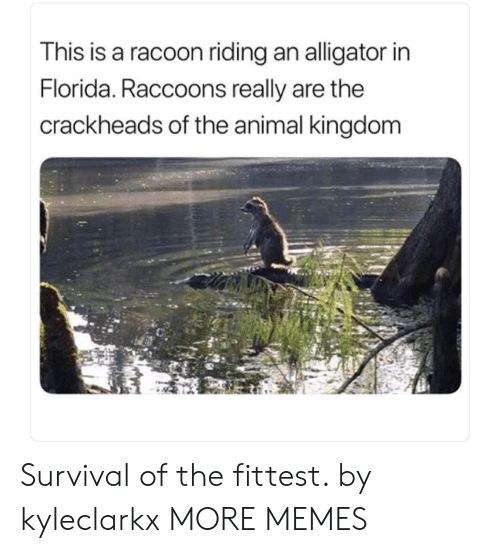 animal kingdom: This is a racoon riding an alligator in  Florida. Raccoons really are the  crackheads of the animal kingdom Survival of the fittest. by kyleclarkx MORE MEMES