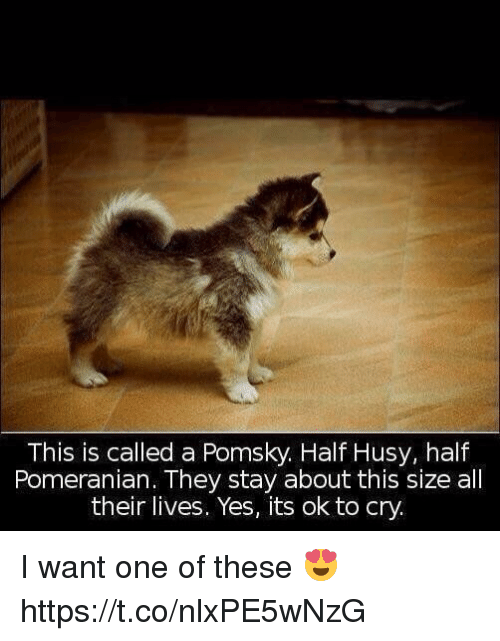 Pomeranian, Girl Memes, and Yes: This is called a Pomsky. Half Husy, half  Pomeranian. They stay about this size all  their lives. Yes, its ok to cry. I want one of these 😍 https://t.co/nlxPE5wNzG