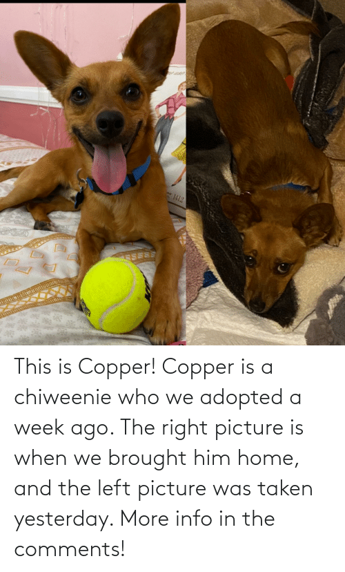 yesterday: This is Copper! Copper is a chiweenie who we adopted a week ago. The right picture is when we brought him home, and the left picture was taken yesterday. More info in the comments!
