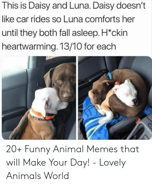Animals, Fall, and Funny: This is Daisy and Luna. Daisy doesn't  like car rides so Luna comforts her  until they both fall asleep. H*ckin  heartwarming. 13/10 for each 20+ Funny Animal Memes that will Make Your Day! - Lovely Animals World