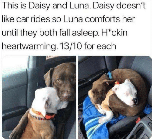 Fall, Her, and Car: This is Daisy and Luna. Daisy doesn't  like car rides so Luna comforts her  until they both fall asleep. H*ckin  heartwarming. 13/10 for each