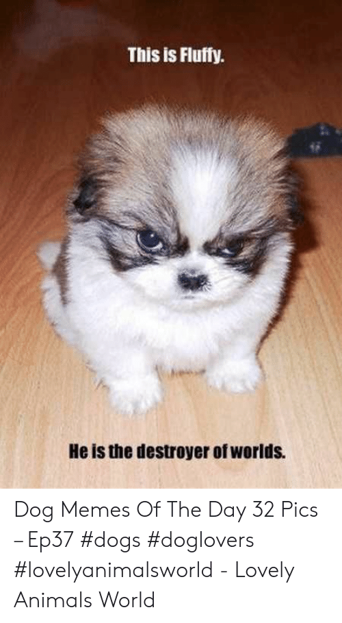 destroyer: This is Fluffy  He is the destroyer of worlds. Dog Memes Of The Day 32 Pics – Ep37 #dogs #doglovers #lovelyanimalsworld - Lovely Animals World
