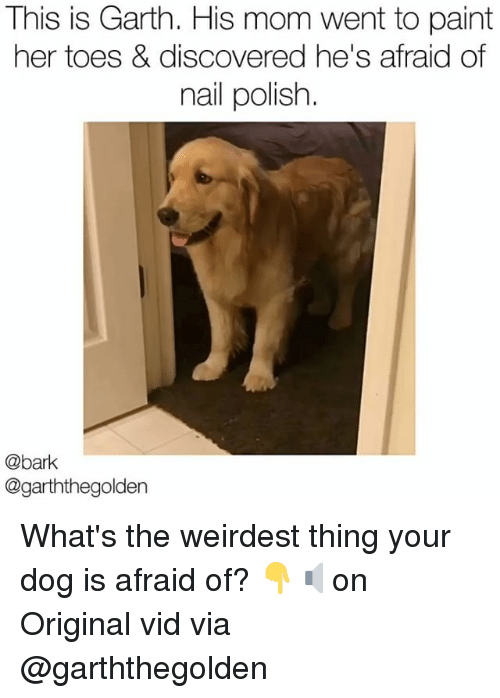 Memes, Paint, and Mom: This is Garth. His mom went to paint  her toes & discovered he's afraid of  nail polish.  @bark  @garththegolden What's the weirdest thing your dog is afraid of? 👇🔈on Original vid via @garththegolden