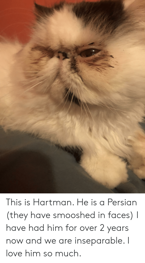 Love, Persian, and Him: This is Hartman. He is a Persian (they have smooshed in faces) I have had him for over 2 years now and we are inseparable. I love him so much.