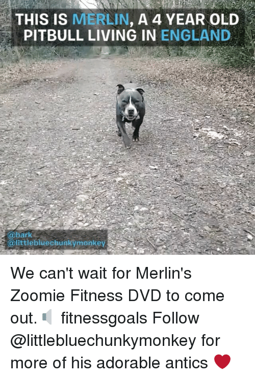 merlin: THIS IS MERLIN, A 4 YEAR OLD  PITBULL LIVING IN ENGLAND  @bark  @littlebluechunkymonkey We can't wait for Merlin's Zoomie Fitness DVD to come out.🔈 fitnessgoals Follow @littlebluechunkymonkey for more of his adorable antics ❤️