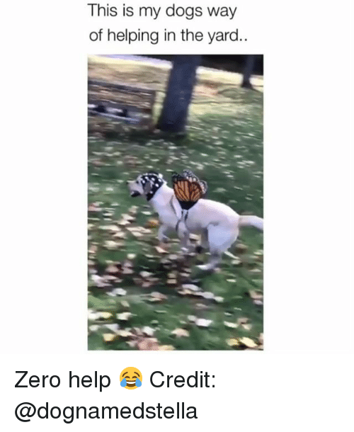 Dogs, Memes, and Zero: This is my dogs way  of helping in the yard.. Zero help 😂 Credit: @dognamedstella