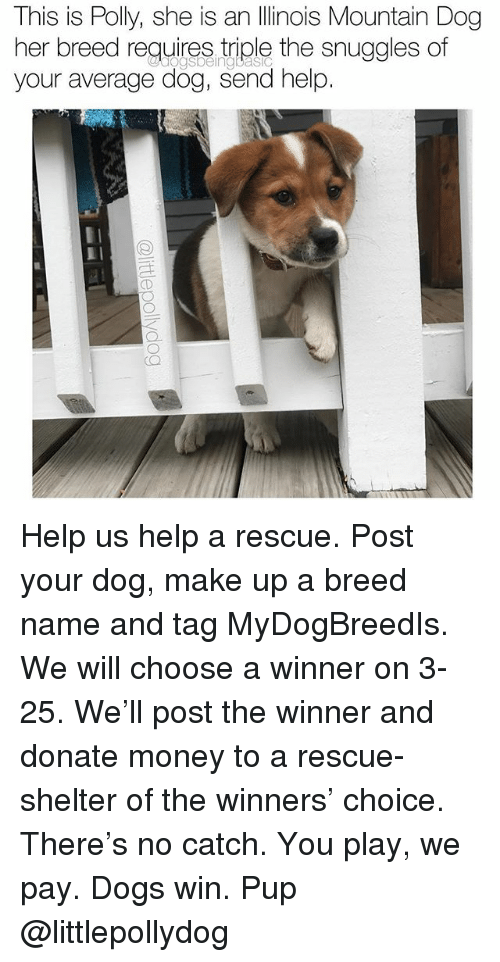 Dogs, Memes, and Money: This is Polly, she is an Ilinois Mountain Dog  her breed reguires tiple the snuggles of  your average dög, send help.  ogsbeingbasIc Help us help a rescue. Post your dog, make up a breed name and tag MyDogBreedIs. We will choose a winner on 3-25. We'll post the winner and donate money to a rescue-shelter of the winners' choice. There's no catch. You play, we pay. Dogs win. Pup @littlepollydog