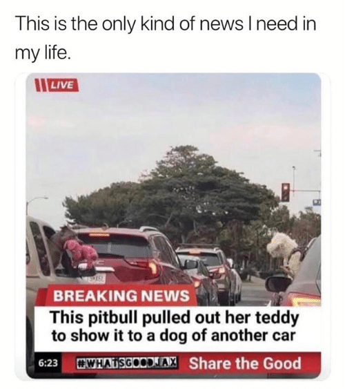 Dank, Life, and News: This is the only kind of news I need in  my life  LIVE  BREAKING NEWS  This pitbull pulled out her teddy  to show it to a dog of another car  WHATSGOODLIA, Share the Good  6:23