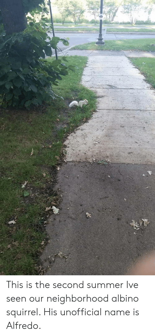 Summer, Squirrel, and Albino: This is the second summer Ive seen our neighborhood albino squirrel. His unofficial name is Alfredo.
