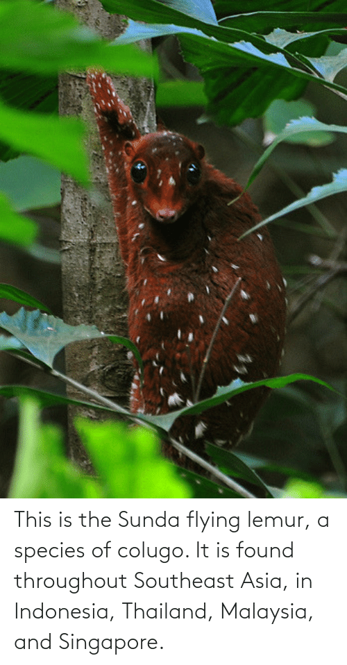 Indonesia: This is the Sunda flying lemur, a species of colugo. It is found throughout Southeast Asia, in Indonesia, Thailand, Malaysia, and Singapore.