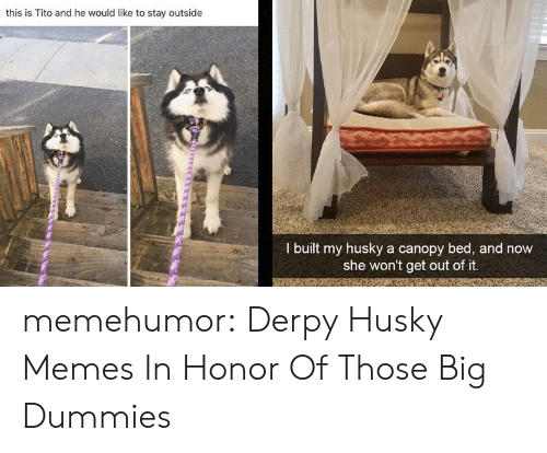 In Honor Of: this is Tito and he would like to stay outside  I built my husky a canopy bed, and now  she won't get out of it. memehumor:  Derpy Husky Memes In Honor Of Those Big Dummies