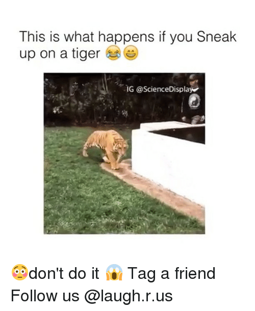 Memes, Tiger, and Tigers: This is what happens if you Sneak  up on a tiger  IG a ScienceDisplay 😳don't do it 😱 Tag a friend Follow us @laugh.r.us