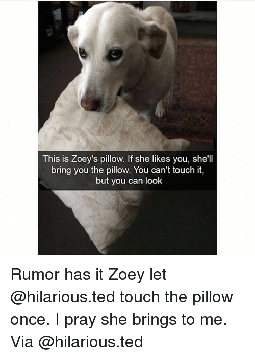 Memes, Ted, and Hilarious: This is Zoey's pillow. If she likes you, she'll  bring you the pillow. You can't touch it,  but you can look Rumor has it Zoey let @hilarious.ted touch the pillow once. I pray she brings to me. Via @hilarious.ted
