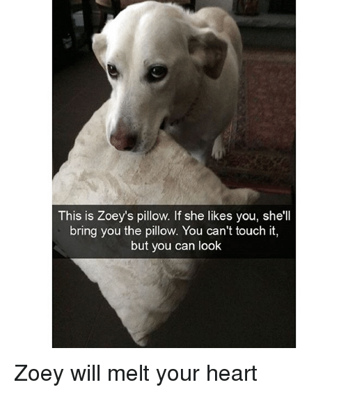Funny, Heart, and Shell: This is Zoey's pillow. If she likes you, she'll  bring you the pillow. You can't touch it,  but you can look Zoey will melt your heart
