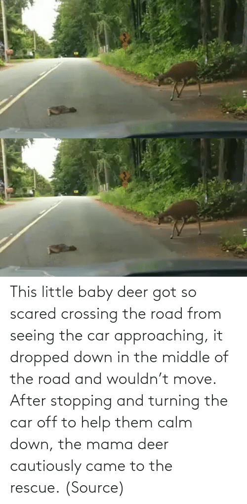 calm: This little baby deer got so scared crossing the road from seeing the car approaching, it dropped down in the middle of the road and wouldn't move. After stopping and turning the car off to help them calm down, the mama deer cautiously came to the rescue. (Source)