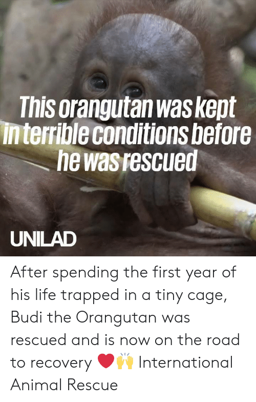 Dank, Life, and Animal: This orangutan was kept  interrible conditions before  he was rescued  UNILAD After spending the first year of his life trapped in a tiny cage, Budi the Orangutan was rescued and is now on the road to recovery ❤️️🙌   International Animal Rescue