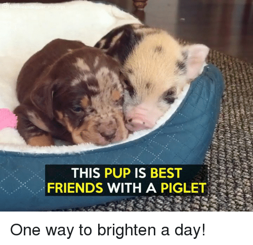 piglets: THIS PUP IS BEST  FRIENDS WITH A PIGLET One way to brighten a day!