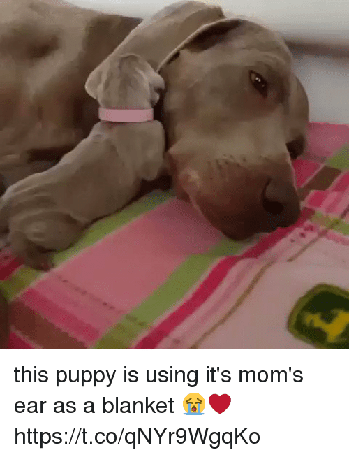 Sizzle: this puppy is using it's mom's ear as a blanket 😭❤️ https://t.co/qNYr9WgqKo