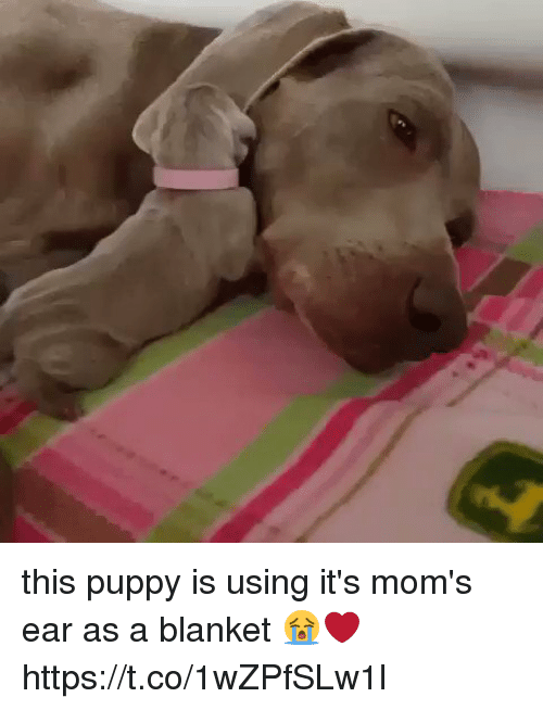 Sizzle: this puppy is using it's mom's ear as a blanket 😭❤️ https://t.co/1wZPfSLw1l