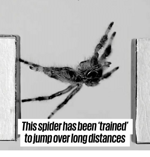 Dank, Spider, and Been: This spider has been trained'  tojump over long distances