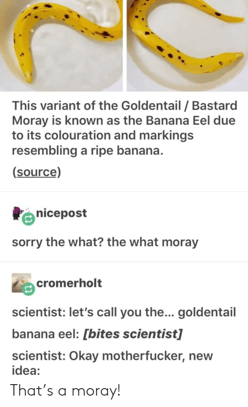 Sorry, Banana, and Okay: This variant of the Goldentail / Bastard  Moray is known as the Banana Eel due  to its colouration and markings  resembling a ripe banana  (source)  nicepost  sorry the what? the what moray  cromerholt  scientist: let's call you the... goldentail  banana eel: [bites scientist]  scientist: Okay motherfucker, new  idea: That's a moray!