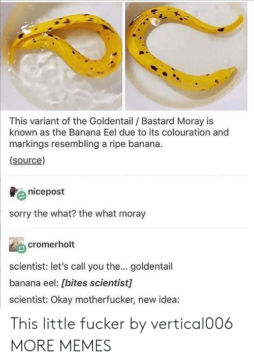 Dank, Memes, and Sorry: This variant of the Goldentail Bastard Moray is  known as the Banana Eel due to its colouration and  markings resembling a ripe banana.  (source)  nicepost  sorry the what? the what moray  cromerholt  scientist: let's call you the... goldentail  banana eel: [bites scientist]  scientist: Okay motherfucker, new idea: This little fucker by vertical006 MORE MEMES
