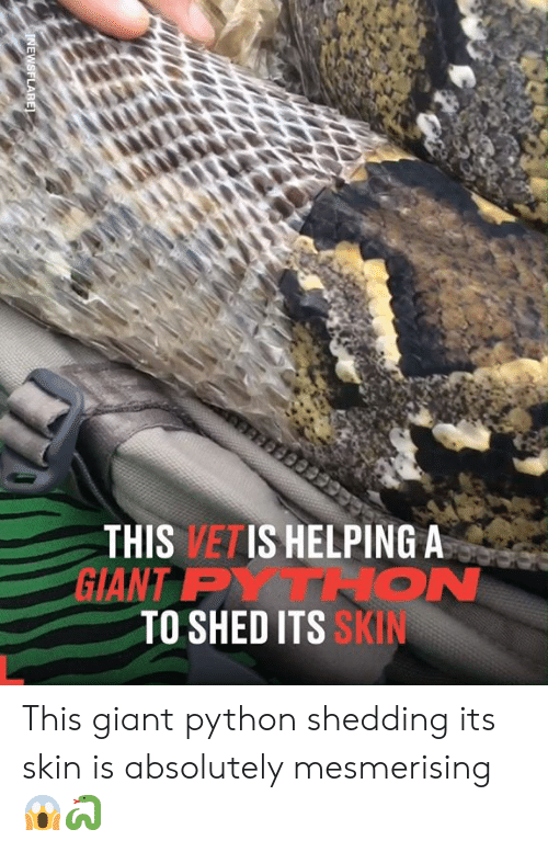 Dank, Giant, and 🤖: THIS VETIS HELPING A  GIANT PYTRON  TO SHED ITS SKIN  INEWSFLARE This giant python shedding its skin is absolutely mesmerising 😱🐍