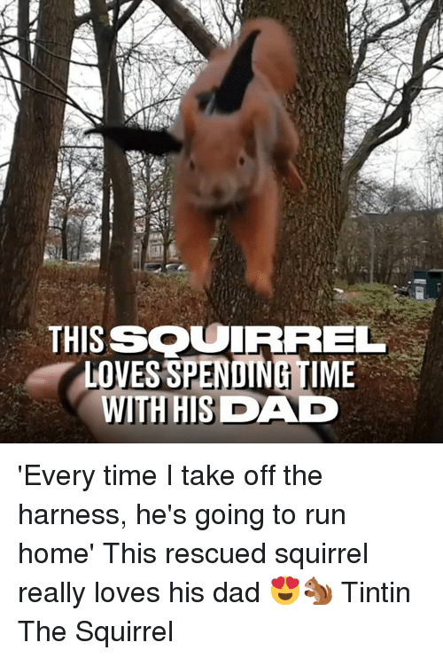 Dad, Dank, and Run: THISSOUIRREL  LOVES SPENDING TIME  WITHHISDAD 'Every time I take off the harness, he's going to run home' This rescued squirrel really loves his dad 😍🐿  Tintin The Squirrel