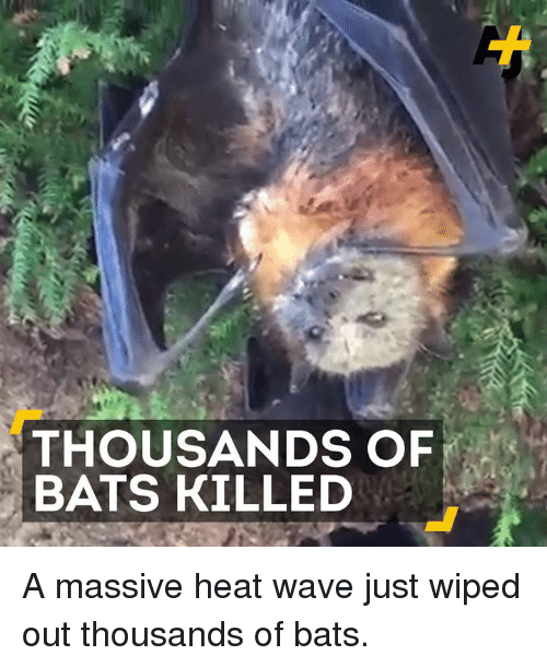 Memes, Heat, and 🤖: THOUSANDS OF  BATS KILLED A massive heat wave just wiped out thousands of bats.