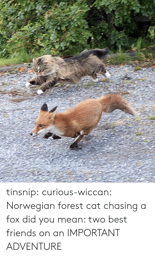 Friends, Tumblr, and Best: tinsnip:  curious-wiccan: Norwegian forest cat chasing a fox did you mean: two best friends on an IMPORTANT ADVENTURE