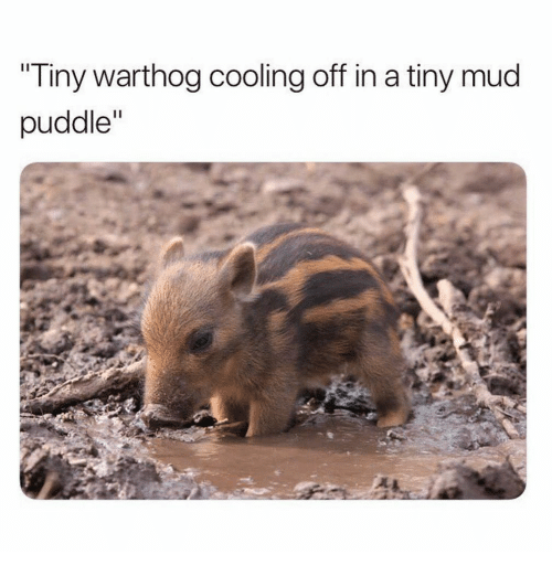 """Mud, Tiny, and Warthog: Tiny warthog cooling off in a tiny mud  puddle"""""""