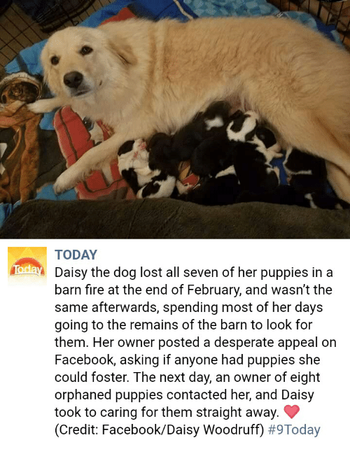 Desperate, Facebook, and Fire: TODAY  Daisy the dog lost all seven of her puppies in a  barn fire at the end of February, and wasn't the  same afterwards, spending most of her days  going to the remains of the barn to look for  them. Her owner posted a desperate appeal on  Facebook, asking if anyone had puppies she  could foster. The next day, an owner of eight  orphaned puppies contacted her, and Daisy  took to caring for them straight away.  (Credit: Facebook/Daisy Woodruff)