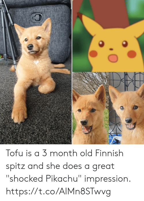 "Pikachu, Old, and Tofu: Tofu is a 3 month old Finnish spitz and she does a great ""shocked Pikachu"" impression. https://t.co/AIMn8STwvg"