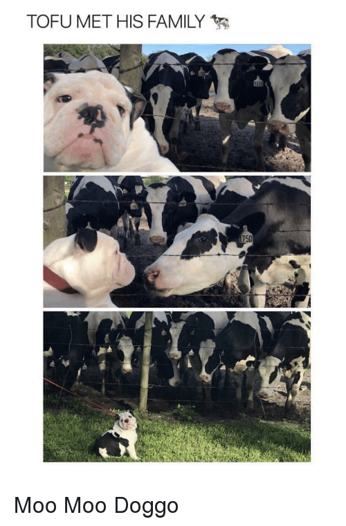 Family, Doggo, and Tofu: TOFU MET HIS FAMILY  75 Moo Moo Doggo