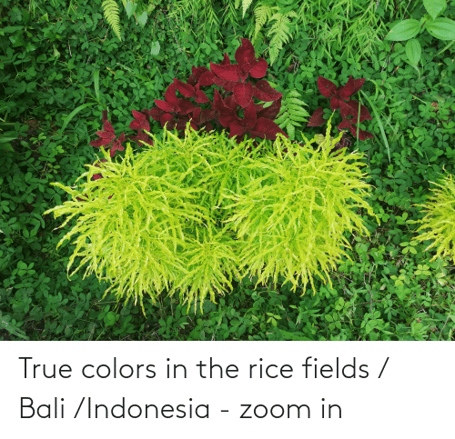 Indonesia: True colors in the rice fields / Bali /Indonesia - zoom in