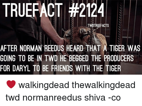 Memes, Norman Reedus, and Tiger: TRUEFACT #2124  TWDTRUEFACTS  AFTER NORMAN REEDUS HEARD THAT A TIGER WAS  GOING TO BE IN TWD HE BEGGED THE PRODUCERS  FOR DARYL TO BE FRIENDS WITH THE TIGER ❤ walkingdead thewalkingdead twd normanreedus shiva -co