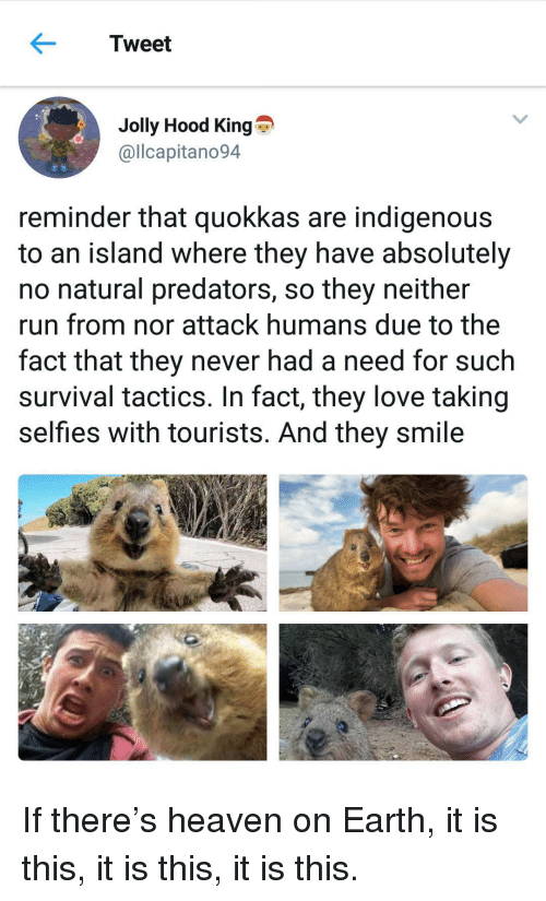 indigenous: Tweet  Jolly Hood King  @llcapitano94  reminder that quokkas are indigenous  to an island where they have absolutely  no natural predators, so they neither  run from nor attack humans due to the  fact that they never had a need for such  survival tactics. In fact, they love taking  selfies with tourists. And they smile <p>If there&rsquo;s heaven on Earth, it is this, it is this, it is this.</p>