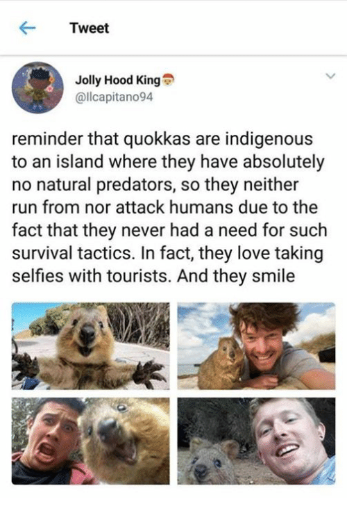 Love, Run, and Smile: Tweet  Jolly Hood King  @llcapitano94  reminder that quokkas are indigenous  to an island where they have absolutely  no natural predators, so they neither  run from nor attack humans due to the  fact that they never had a need for such  survival tactics. In fact, they love taking  selfies with tourists. And they smile