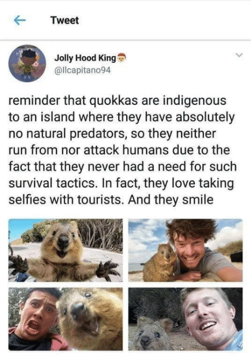 indigenous: Tweet  Jolly Hood King  @llcapitano94  reminder that quokkas are indigenous  to an island where they have absolutely  no natural predators, so they neither  run from nor attack humans due to the  fact that they never had a need for such  survival tactics. In fact, they love taking  selfies with tourists, And they smile