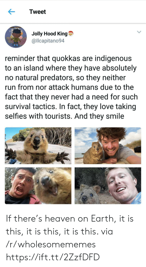 selfies: Tweet  Jolly Hood King  @llcapitano94  reminder that quokkas are indigenous  to an island where they have absolutely  no natural predators, so they neither  run from nor attack humans due to the  fact that they never had a need for such  survival tactics. In fact, they love taking  selfies with tourists. And they smile If there's heaven on Earth, it is this, it is this, it is this. via /r/wholesomememes https://ift.tt/2ZzfDFD