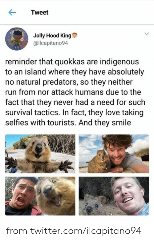 selfies: Tweet  Jolly Hood King  @llcapitano94  reminder that quokkas are indigenous  to an island where they have absolutely  no natural predators, so they neither  run from nor attack humans due to the  fact that they never had a need for such  survival tactics. In fact, they love taking  selfies with tourists. And they smile from twitter.com/ilcapitano94