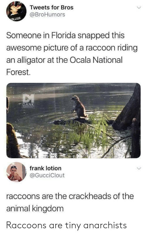 animal kingdom: Tweets for Bros  @BroHumors  Someone in Florida snapped this  awesome picture of a raccoon riding  an alligator at the Ocala National  Forest.  DANK  MEMEOLOGY  frank lotion  @GucciClout  raccoons are the crackheads of the  animal kingdom Raccoons are tiny anarchists
