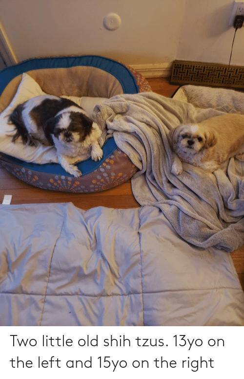 13Yo: Two little old shih tzus. 13yo on the left and 15yo on the right