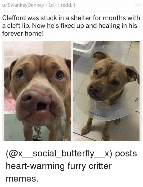 Memes, Butterfly, and Forever: u/SwankeyDankey ld i.redd.it  Clefford was stuck in a shelter for months with  a cleft lip. Now he's fixed up and healing in his  forever home! (@x__social_butterfly__x) posts heart-warming furry critter memes.