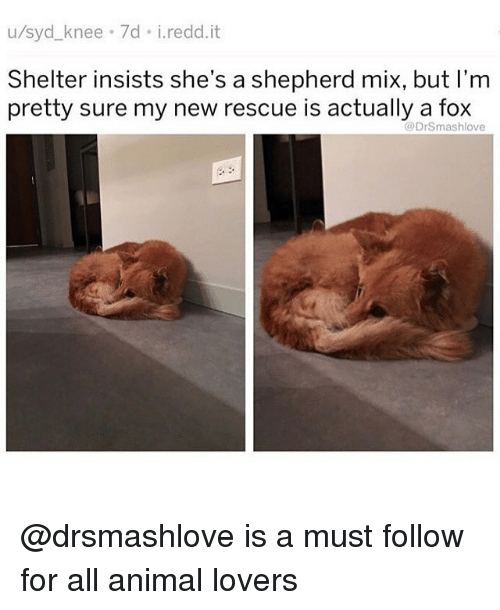 Memes, Animal, and 🤖: u/syd_knee 7d i.redd.it  Shelter insists she's  pretty sure my new rescue is actually a fox  a shepherd mix, but I'm  DrSmashlove @drsmashlove is a must follow for all animal lovers