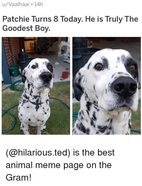 Meme, Memes, and Ted: u/Vaalhaai 14h  Patchie Turns 8 Today. He is Truly The  Goodest Boy (@hilarious.ted) is the best animal meme page on the Gram!