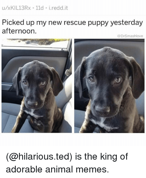 Memes, Ted, and Animal: u/xKIL13Rx 11d i.redd.it  Picked up my new rescue puppy yesterday  afternoon  @DrSmashlove (@hilarious.ted) is the king of adorable animal memes.